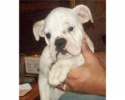fini English Bull Dog puppies for sale