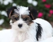 gold Yorkshire Terrier puppies for sale