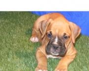 fon English Bull Dog puppies for sale