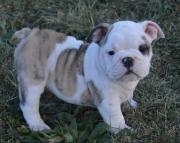 fun English Bull Dog puppies for sale