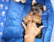 so Yorkshire Terrier puppies for sale