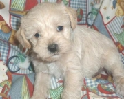 sdfa Schnoodle puppies for sale
