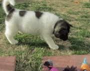 dffw akita puppies for sale
