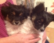 sfas Papillon puppies for sale