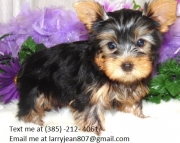 hdrt Yorkshire Terrier Puppies For Sale