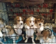 ddae Basset Hound Puppies For Sale