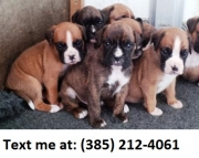 dfag Boston terrier puppies for sale