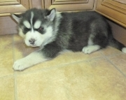 daq Siberian Huskie puppies for sale