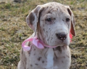 gse Great Dane puppies for sale
