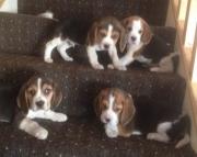 dadz Beagle Puppies For Sale