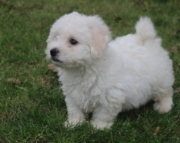 dfa Bichon Frise Puppies For Sale