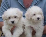 deq Coton De Tulear puppies for sale
