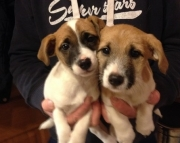 dwq Jack Russell Terrier puppies for sale