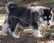 dgad Alaskan Malamute  puppies for sale