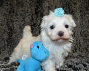 sgs Maltese Puppies For Sale