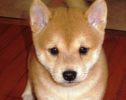 fgj shiba inu puppies for sale