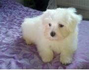 dge Havanese Puppies For Sale