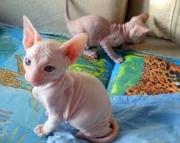 dgsg Sphynx Kittens Available for sale