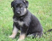 sxfa German Shepherd Dog Puppies For Sale