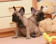 dgs French Bulldog Puppies For Sale