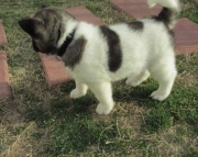 fsgw akita puppies for sale