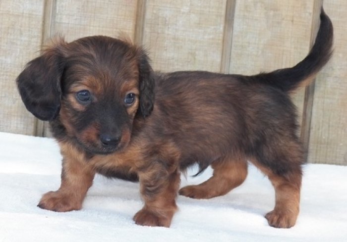 Dga Dachshund Puppies For Sale Handmade Michigan