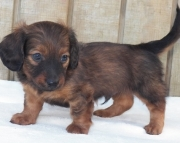 dga Dachshund Puppies For Sale