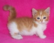 dag Munchkin kittens for sale