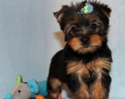 hdfh Yorkshire Terrier Puppies For Sale