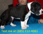 gsr Great Dane Puppies For Sale