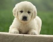 dfeq Golden Retriever Puppies For Sale