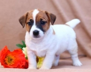 Mischief - Jack Russell Terrier Puppy for Sale