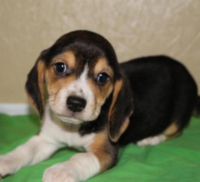 Willie Beagle Puppy For Sale Handmade Michigan