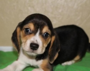Willie - Beagle Puppy for Sale