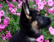 Liberty - German Shepherd Puppy for Sale