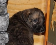 Sully - Beautiful Irish Wolfhound Pup Ready