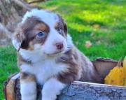 Chloe - Australian Shepherd Puppy for Sale