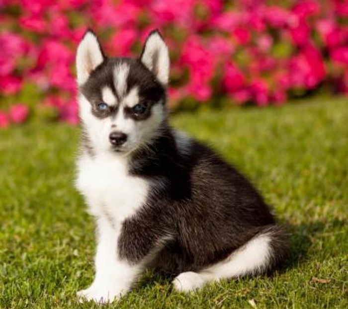 Markus Siberian Husky Puppy For Sale Handmade Michigan