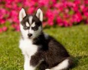 Markus - Siberian Husky Puppy for Sale