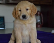 Radar - Golden Retriever Puppy for Sale