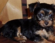 Pilar - Morkie Puppy for Sale