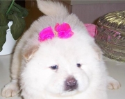 AKC Male Cream Chow Puppy