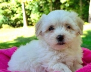 Cassie (cassandra) - Maltipoo Puppy for Sale