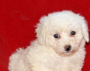 Jack - Bichon Frise Puppy for Sale