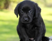 Bruno - Labrador Retriever Puppy for Sale