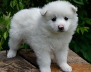 Casper  American Eskimo Puppy for Sale