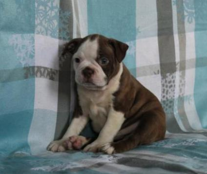 Rob Boston Terrier Puppy For Sale Handmade Michigan