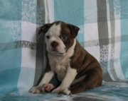 Rob - Boston Terrier Puppy for Sale