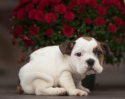 Zacky - English Bulldog Puppy for Sale