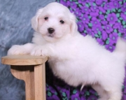 Spanky - Havanese Puppy for Sale